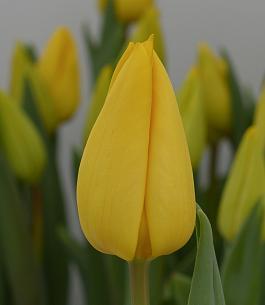 Yellow Master® 1
